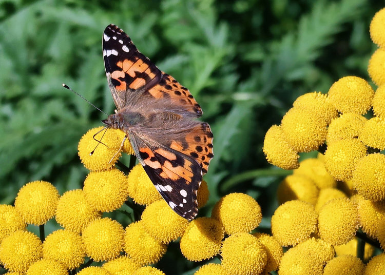 159. Painted Lady