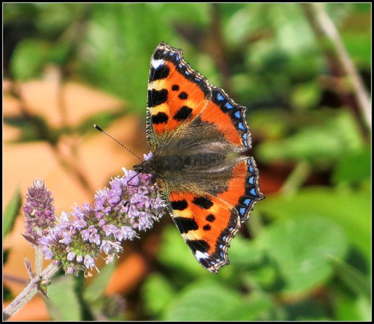 80. Ruán beag, Small Tortoisehell butterfly