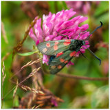 81. Six Spot Burnet Moth