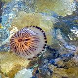 76. Smuglaire an chompáis, Jellyfish