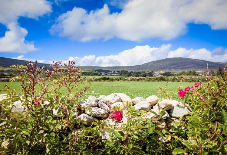 Wild roses; West Cork; Ireland