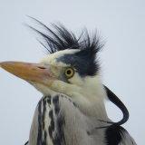 74. Windswept Heron