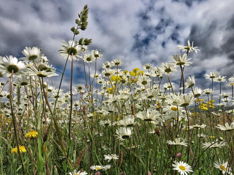 59. Ox Eye Daisies: irish wildflowers