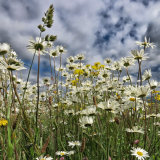 59. Ox Eye Daisies: irish wildflowers