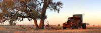 Old Dodge and Buloke tree