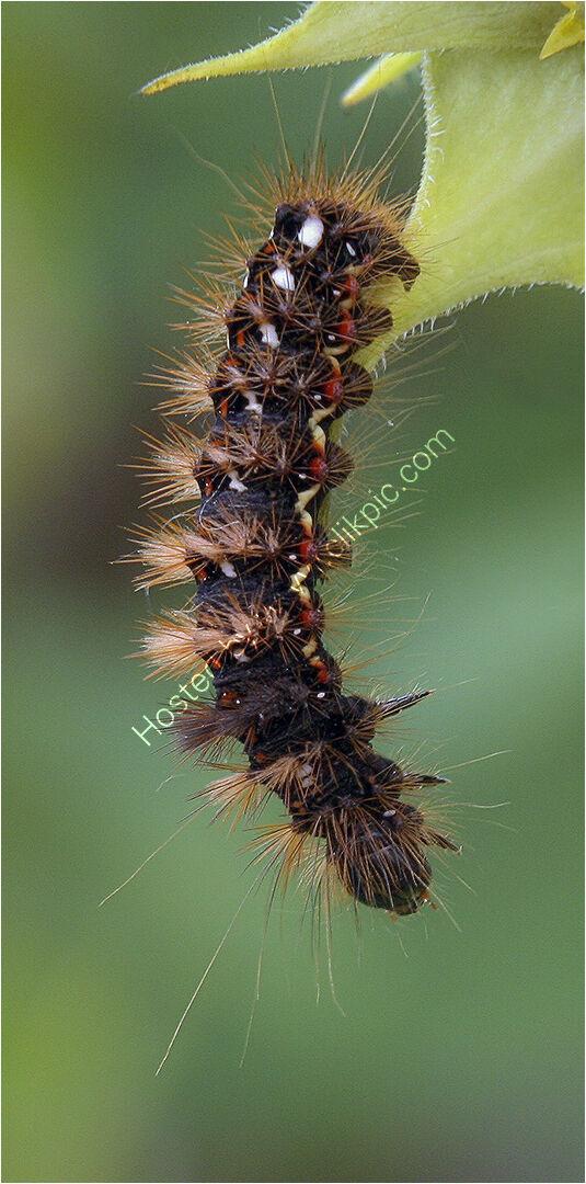Peter Hill - Dangling Caterpillar - HC