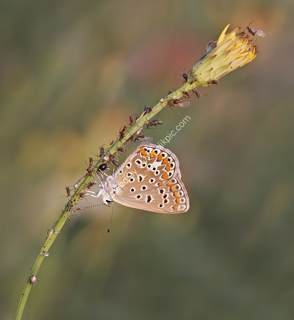 Ferg -  Common Blue female and friends - HC
