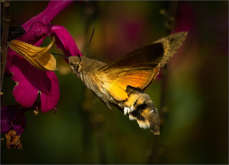 Tim Bayliss - Hummingbird Hawk Moth - Second