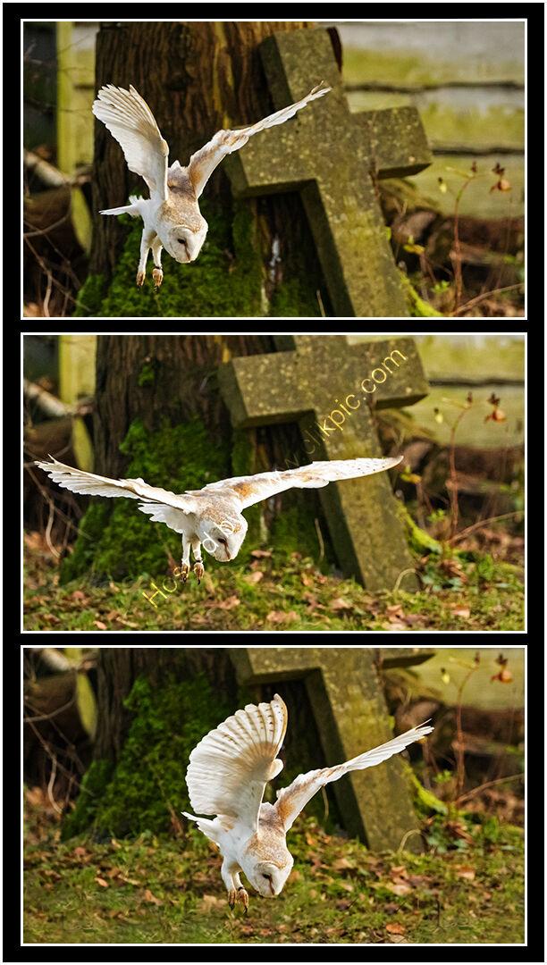 Yvonne West Barn owl hunting