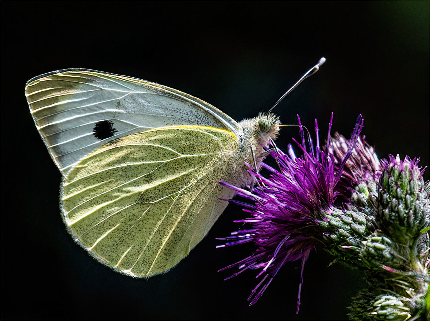 Mick Parmenter - Small White on thistle - HC