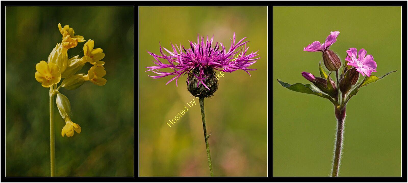 Yvonne West Chalk downland wild flowers