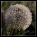 Frosty Dandylion