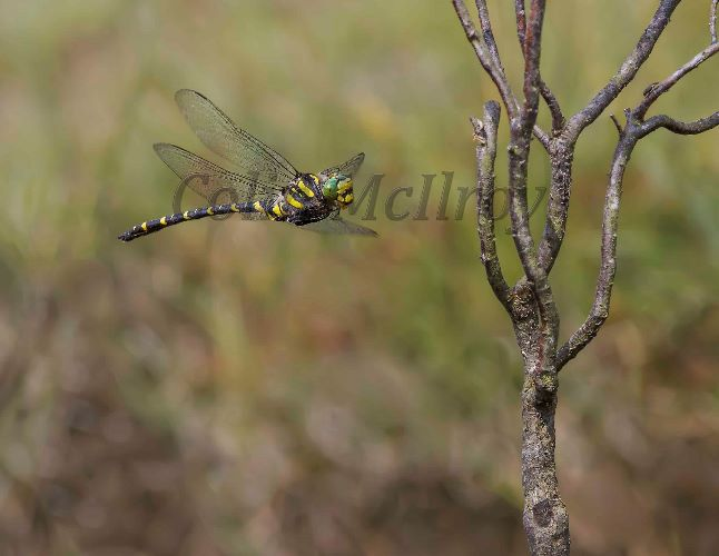 Golden-ringed Dragonfly About To Perch