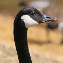 Grubby Beak