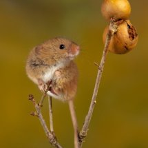 Harvest mouse and oak apple gall