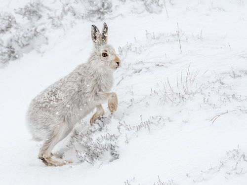 Mountain hare in snow PC [11]