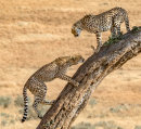 HC Paul Carter for 'Cheetahs in a tree