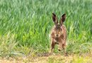 HC Rachel Carter  'Brown hare, Norfolk'