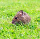 5 Field mouse