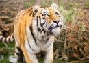 Amur Tiger full P