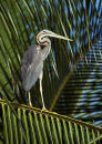 Heron on Coconut Palm