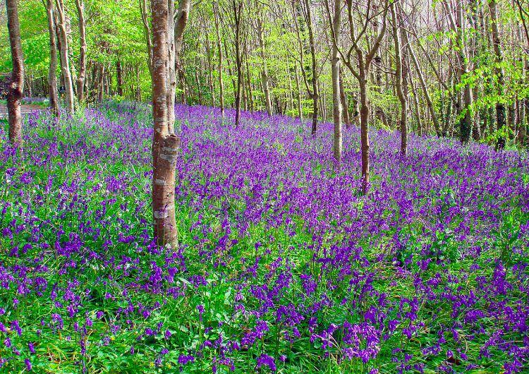 PDI: Blue Bells in the Quantock Hills TD [16]