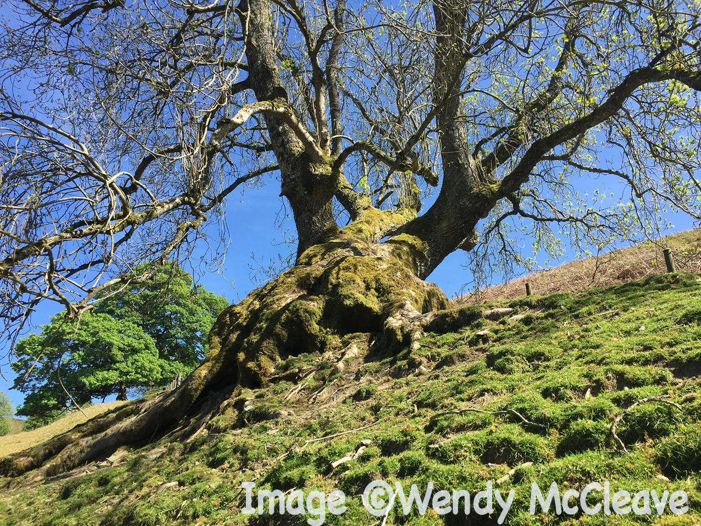 A leaning tree on a hill against a blue sky
