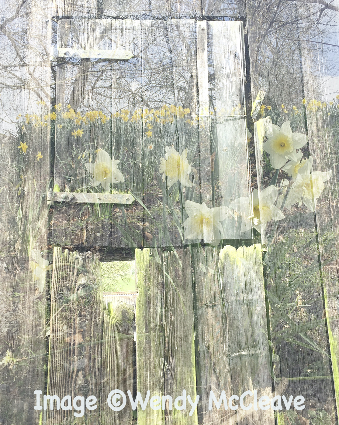 Composite image of old barn door overlaid with image of daffodils and woods behind