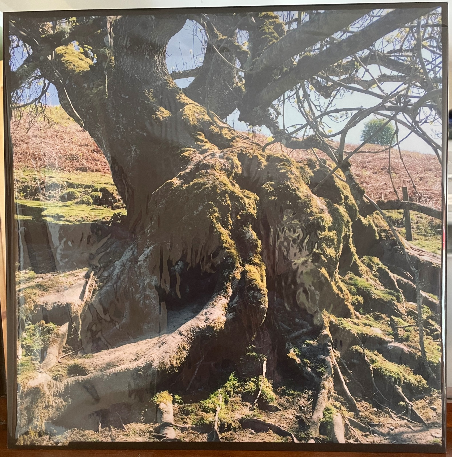 Photographic image of roots of an ancient willow growing at an angle