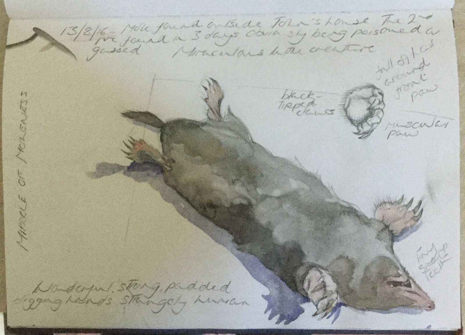 Graphite and watercolour study with pencil notes of a dead mole