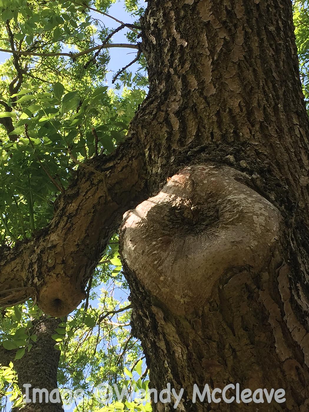Tree nodule