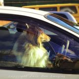 Lassie Drives