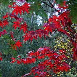 Acers at Harcourt Arboretum