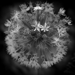 Allium study