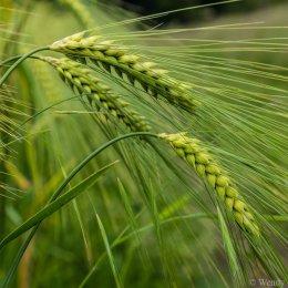 Barley study