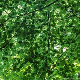 Beech leaf study