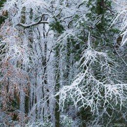 Beech woods in snow