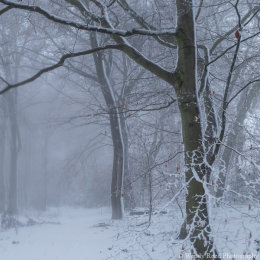 Beech woods in snow 2