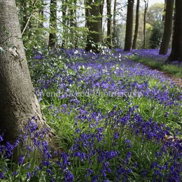 Bluebells in Padnell's Wood