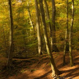 Burnham Beeches in Autumn