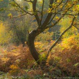 Burnham Beeches oak