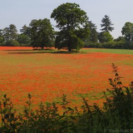 Fawley Bottom Lane poppies