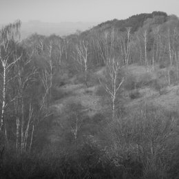silver birch - Watlington Hill