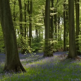 Padnell's Wood bluebells