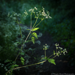 Cow parsley study