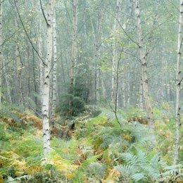 Silver birch wood, Bear Wood, Stoke Row