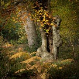 Ancient beech, Burnham Beeches