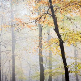 Beech and mist