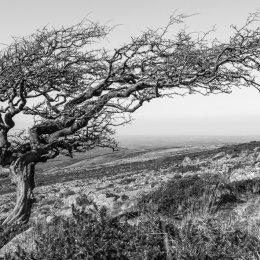 Lone tree, Dartmoor