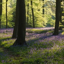Early morning in Padnells Wood